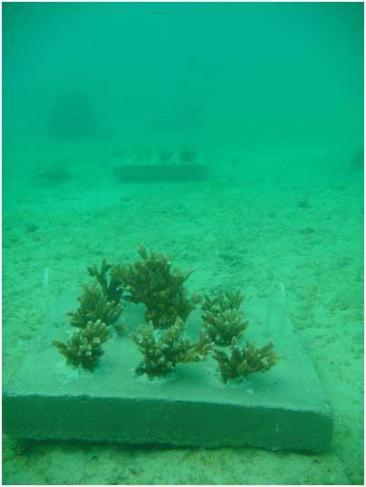 کاشت مرجان ها در محل جدید در فاصله چندکیلومتری محل قبلی